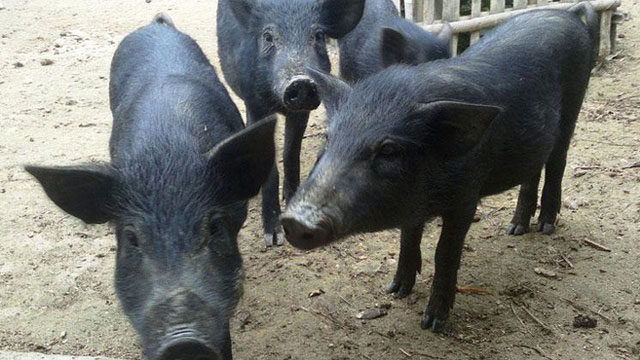 Lợn đen là đặc sản nổi tiếng của Tuyên Quang