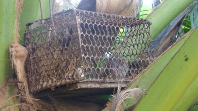 Chuột dừa là đặc sản của Bến Tre - VietFlavour.Com