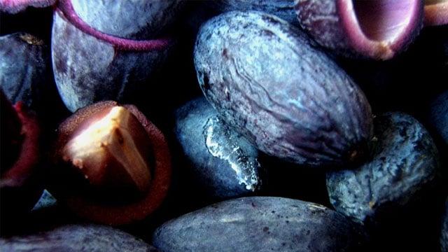 Tổng hợp tất cả các loại quả, trái cây rừng: Trám đen - VietFlavour.Com