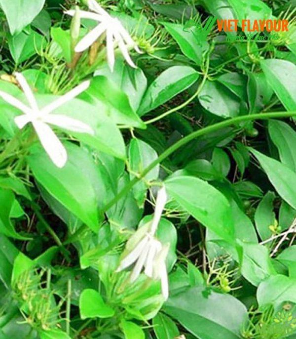 Hình cây chè vằng - Bán chè vằng La Vang Quảng Trị